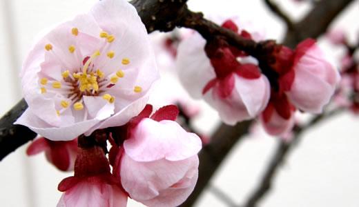 アーモンドの花がが咲いた@東洋ナッツ-2