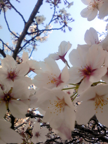 玉井宮の桜
