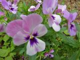 初夏の花壇に咲く パンジー
