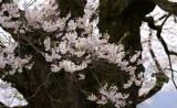 年輪の太い幹に咲く見事な花