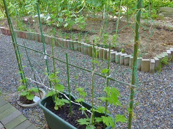 2011年6月末 Mini my 菜園 夏野菜初回