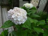 白い紫陽花の咲く 玄関