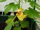 ゴーヤ 日除けに間に合わない、小鳥も応援に来て