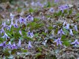 群生地 一面に咲くカタクリ花、踏まないように…