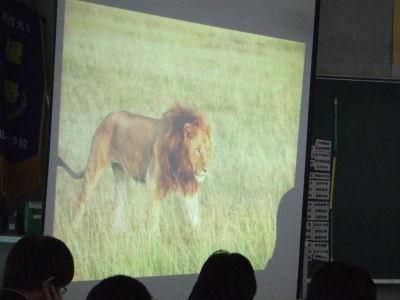 【shiho】ライオン