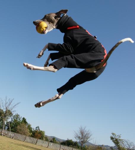 空飛ぶイタグレ小太郎