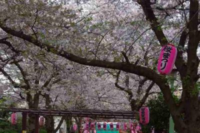 さくら 2 葉桜