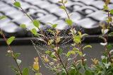 DSC蜘蛛の糸