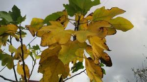 iいちじくの葉