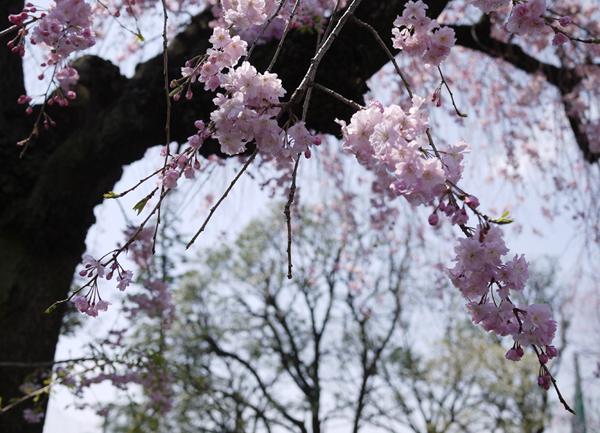 2010桜も終わりに撮影