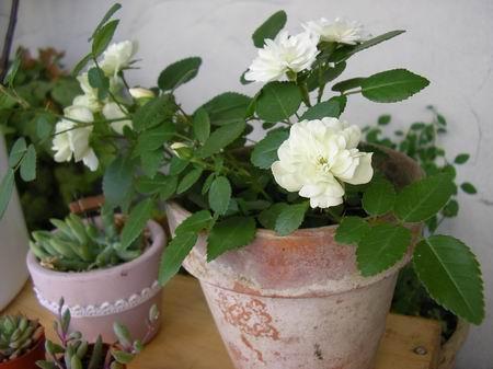 rose193.jpg