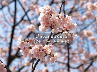 1003ichibansakura03