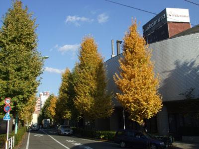 文化村の銀杏並木
