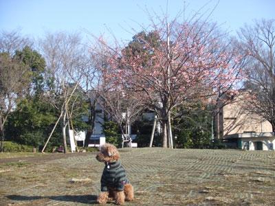 西郷山公園の河津桜とkuma