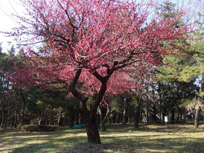 代々木公園の梅