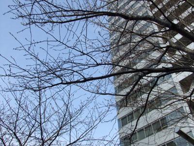 インフォス渋谷タワーと桜の木