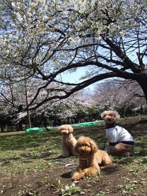 代々木公園の桜と3ワン