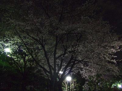 西郷山公園の夜桜
