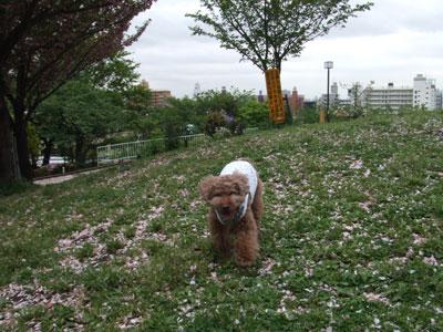 八重桜も絨毯