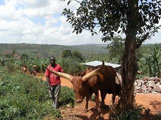 ルワンダ牛