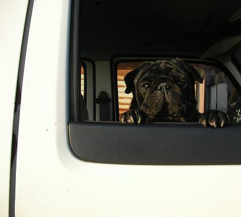 パグが車窓から・・・