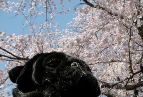 410桜とぱぐ