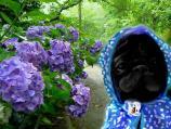 紫陽花とぱぐ