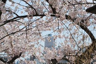 アクトタワーと桜