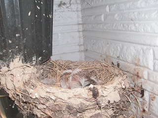 ツバメの巣5
