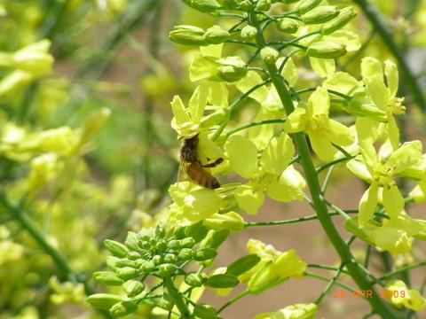 プチベールと蜂