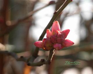 ブルーベリーの芽