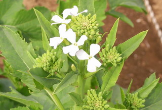 ダイコンの花2