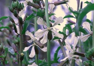 ルッコラ花