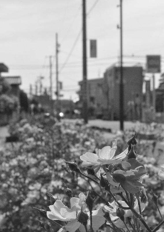 薔薇(白黒 005