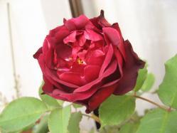 フランシスデュブルイ 開花