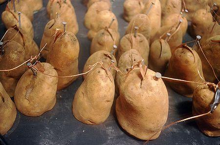 Potates.jpg