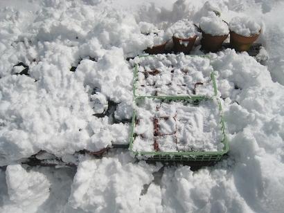 2/15 雪割草&種蒔きポット棚