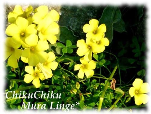黄色のカタバミ☆