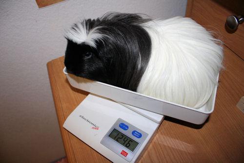 アキレス体重