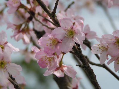 P1010026桜