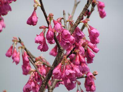 P1010027桜2