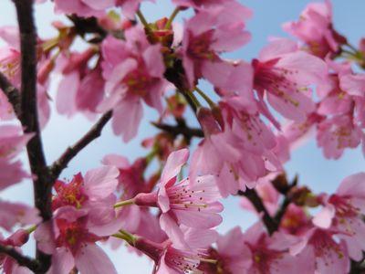 P1010028桜3