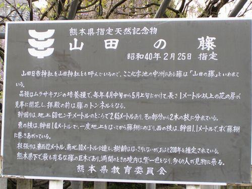 090411山田の藤5