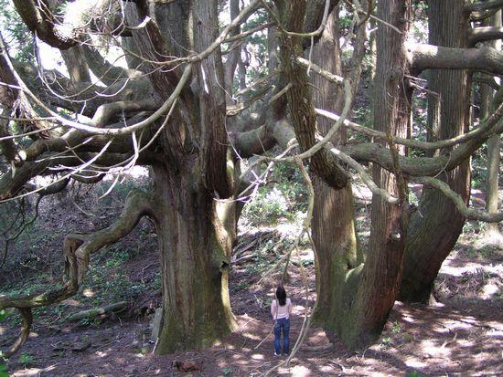 20090419 高森殿の杉9