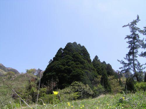 20090419 高森殿の杉11