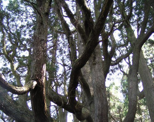 20090419 高森殿の杉5の2