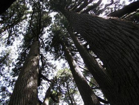20090419 高森殿の杉6