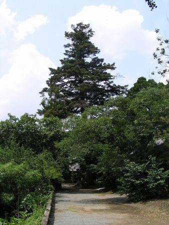 090704 坂の上神社のモミ8