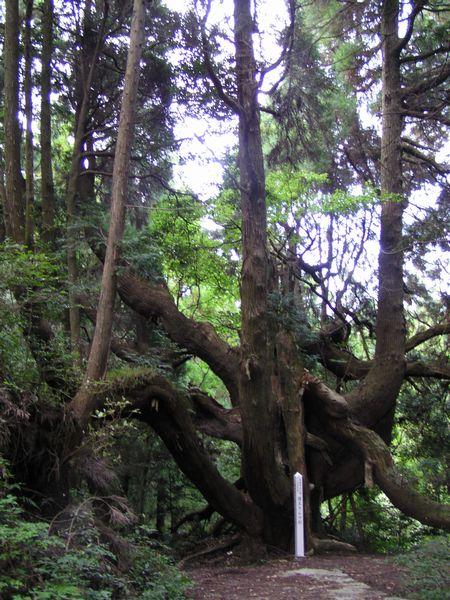 210926 護王さんの杉2