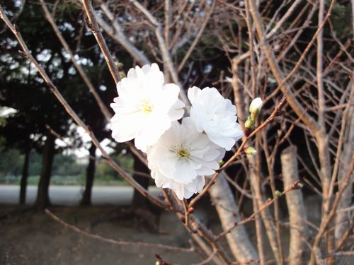 211025 十月桜
